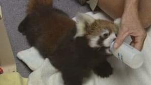 red-pandas3