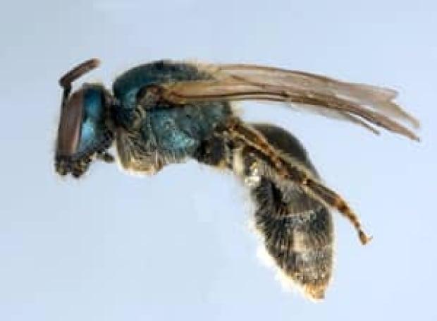 100901-sweat-bee-jason-gibbs