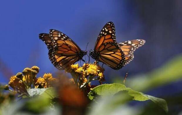 monarchs-584-6326881