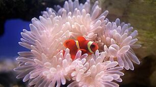 tp-clown-fish-and-sea-anemone-ap-3987933