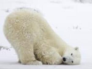 top-polar-bear-climate-cp-11142261
