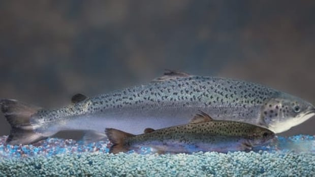 AquaBounty's salmon appears next to a non-genetically engineered salmon. Both are the same age.