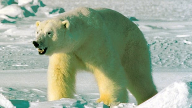 DNA analysis conducted by Oxford University genetics professor Bryan Sykes suggests the creature is the descendant of an ancient polar bear. Sykes compared DNA from hair samples taken from two Himalayan animals — identified by local people as yetis — to a database of animal genomes. He found they shared a genetic fingerprint with an ancient polar bear jawbone found in the Norwegian Arctic.