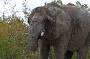 Thika, one of the last 3 elephants at the Toronto Zoo