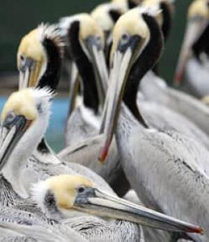 f-pelicans-cp-8074707