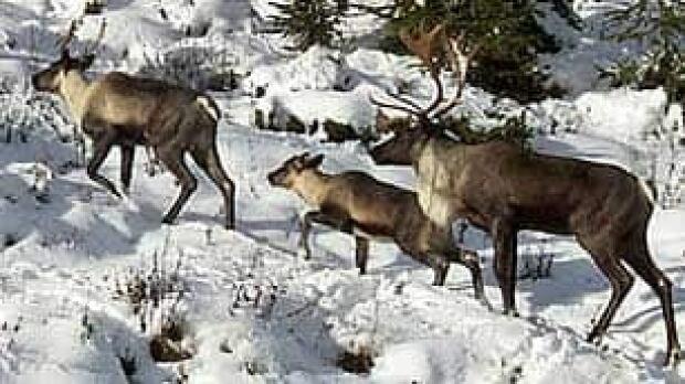 bc-090330-mountain-caribou