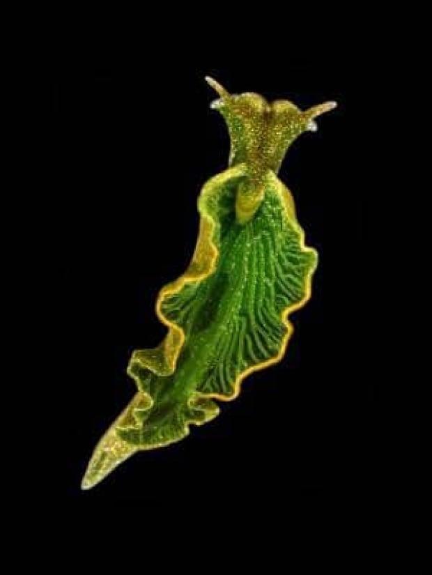 green-sea-slug