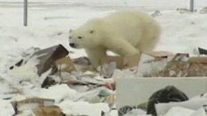 tp-arviat-polar-bear0911