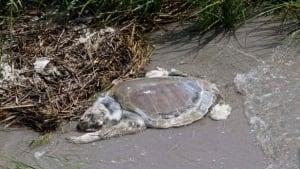 w-gulf-spill-turtle-cp-8586420