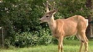 bc-100714-cranbrook-deer