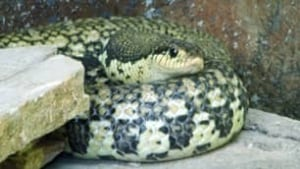 tp-cgy-hognose-snake