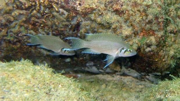 tech-african-fish