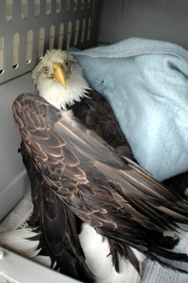 eagle-injured-cp-8459035