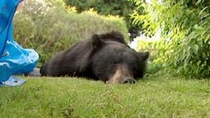 bc-100625-west-van-bear1