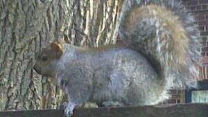 tp-squirrel-pierre-faubert-1911