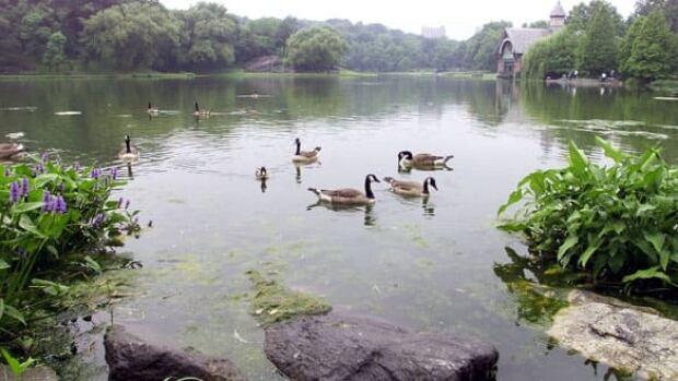 w-canada-geese-cp-rtrjvaf