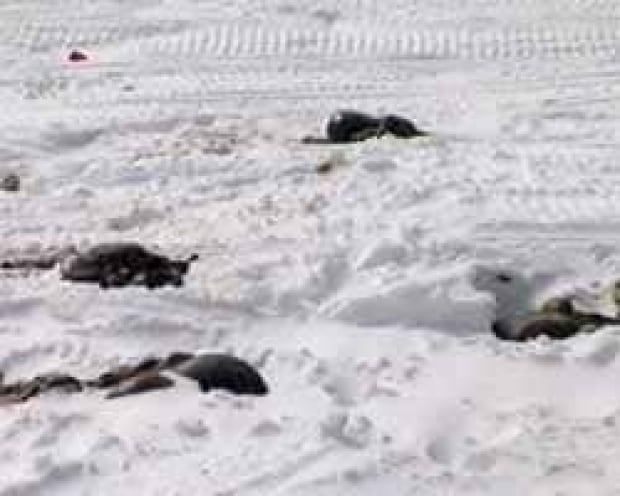 nl-caribou-carcass-090331