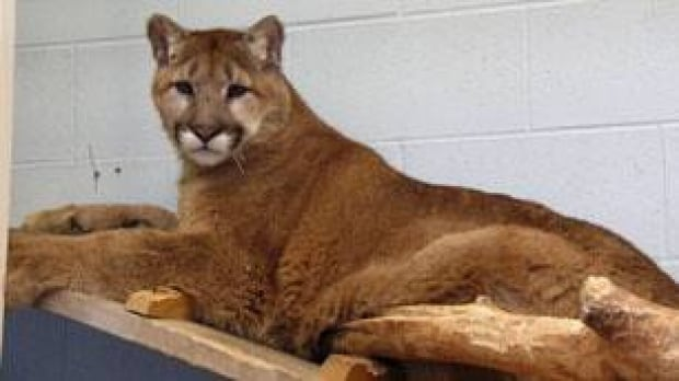 tp-cgy-male-orphan-cougar