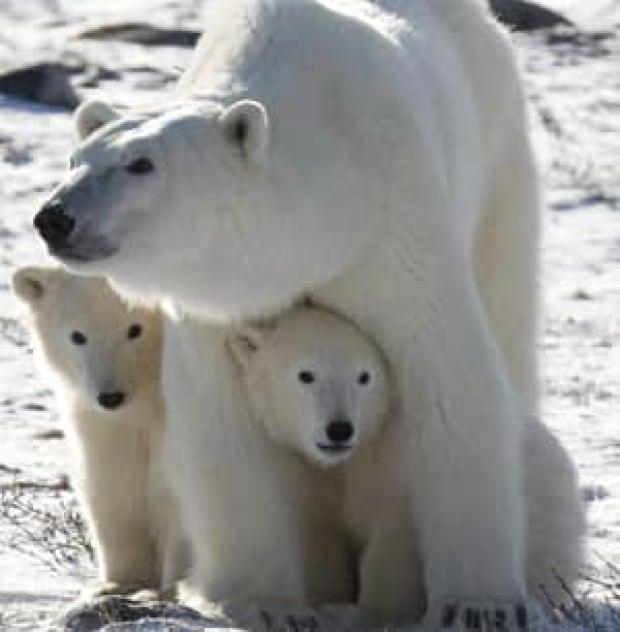 polar-bears-cp-large