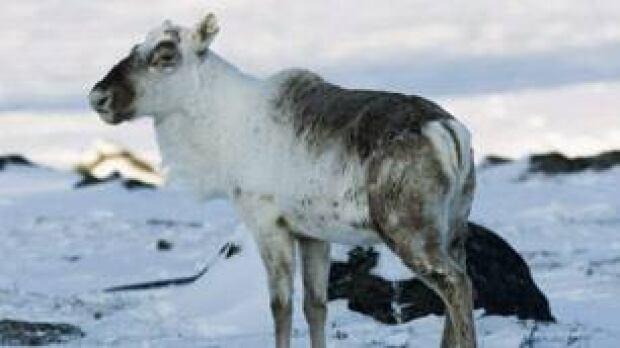 tp-wild-caribou-cp-6459487