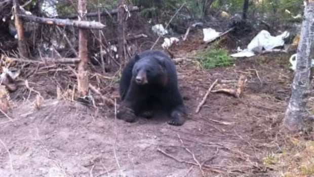 Conservation officers in western Labrador say bear sightings in the region this year are not as bad as past years.