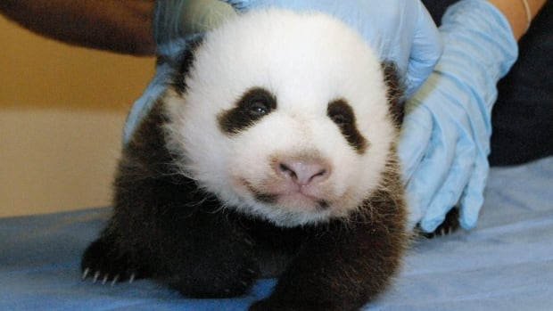 The National Zoo in Washington, D.C., re-opened Friday, October 18, 2013 after being closed for 16 days because of the government shutdown. The popular panda cams showing this eight-week-old cub are back on and fans are eager to view her, maxing out the online connections within minutes.