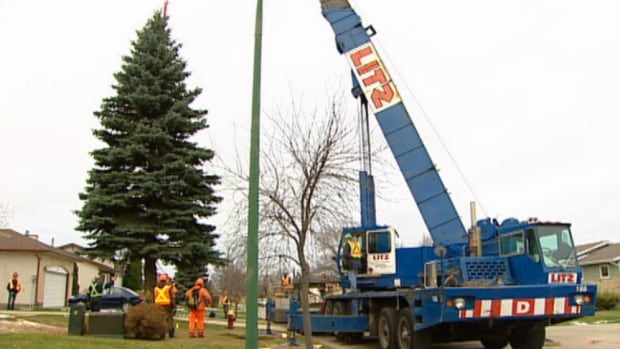 The City of Winnipeg's Christmas tree is removed from the yard of its donor household in November 2011. In a first, the city has put out a public call for holiday tree candidates this year.