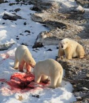 polar-bear-seal-carcass