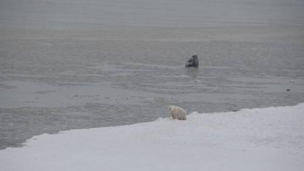 w-polar-bear