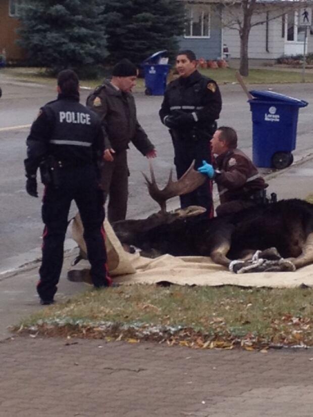 Moose on the loose Saskatoon