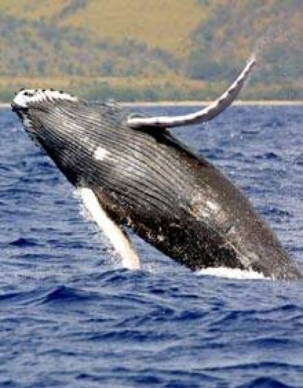 whale-humpback-cp-6003572