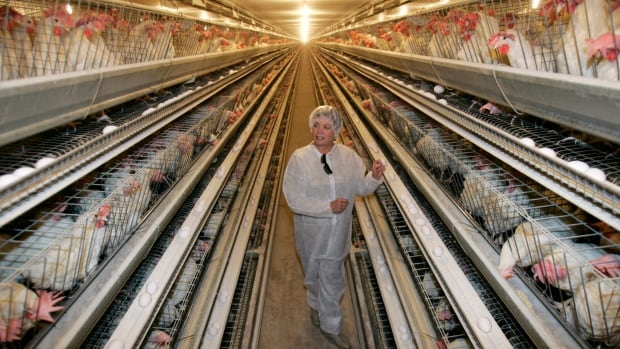 It is possible for a large commercial egg farm to run a humane operation, and still turn a profit, animal welfare experts say. In 2008, the Dwight Bell Farm in Atwater, Calif. had three barns the size of football fields housing 500,000 hens in battery cages, meaning the chickens had a space the size of a sheet of paper.