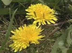 cgy-dandelions