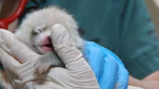 tp-cgy-baby-panda