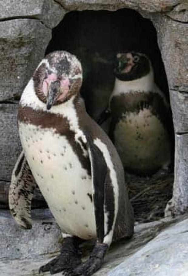 humboldt-penguins-cp-681808