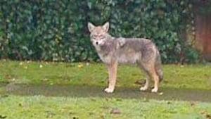 bc-090116-coyote1