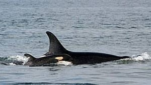 bc-090218-whale-calf-j44-mark-malleson