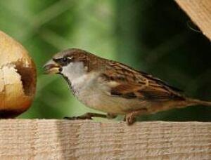 sparrow-cp-3848255