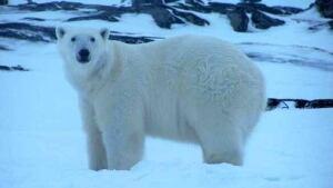 nl-polar-bear-20090217