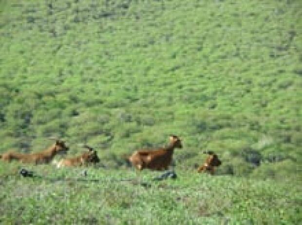 goats-at-cerro-azul-resized