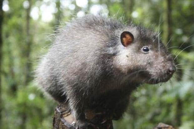 Bosavi-Woolly-Rat