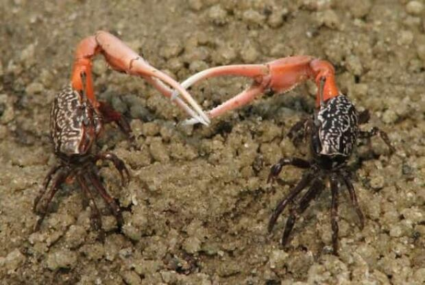 giant freshwater crab - photo #10