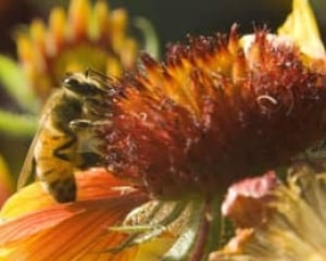 honeybee-cp-5680004