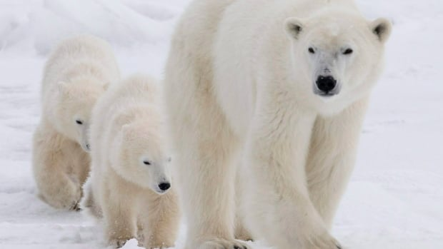 A polar bear mother and her two cubs walk along the shore of Hudson Bay near Churchill, Man. Students at Qarmartalik School in Resolute were told to stay home Monday due to the number of polar bears around the community.