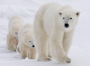 Polar Bear Risk 20110712