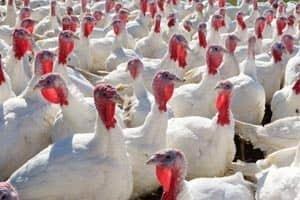 turkey-domestic-cp-00001045