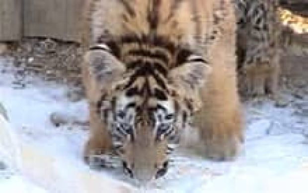 edm-tiger2