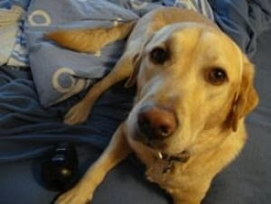 cgy-harley-dog