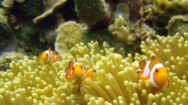clownfish-cp-w4043426