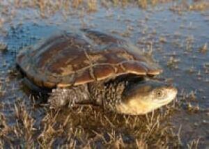 Western-swamp-tortoise-cp-2